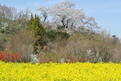 soku_33870.jpg :: 福島県 花見山公園 植物 花 桜 サクラ 菜の花