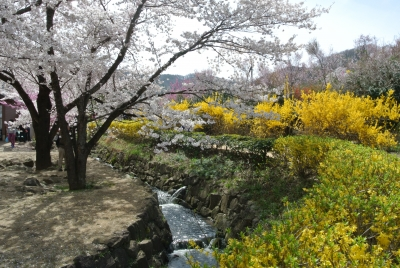 soku_33871.jpg :: 福島県 花見山公園 植物 花 桜 サクラ 菜の花