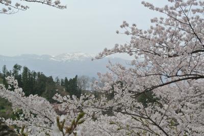 soku_33873.jpg :: 福島県 花見山公園 植物 花 桜 サクラ