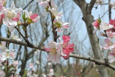 soku_33874.jpg :: 福島県 花見山公園 植物 花 桜 サクラ