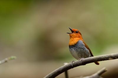 soku_33884.jpg :: 動物 鳥 野鳥 自然の鳥 コマドリ