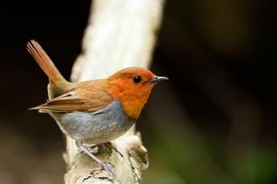 soku_33885.jpg :: 動物 鳥 野鳥 自然の鳥 コマドリ