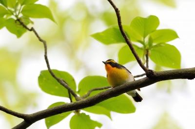 soku_33890.jpg :: 動物 鳥 野鳥 自然の鳥 キビタキ