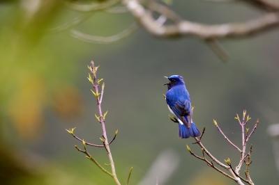 soku_33891.jpg :: 動物 鳥 野鳥 自然の鳥 オオルリ