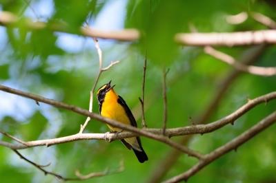 soku_33893.jpg :: 動物 鳥 野鳥 自然の鳥 キビタキ