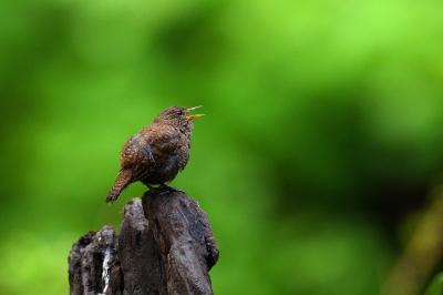 soku_33895.jpg :: 動物 鳥 野鳥 自然の鳥 ミソサザイ