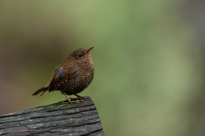 soku_33896.jpg :: 動物 鳥 野鳥 自然の鳥 ミソサザイ
