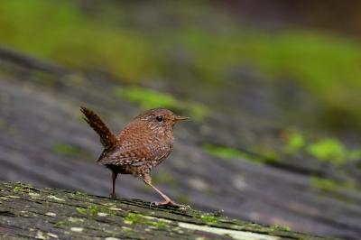 soku_33897.jpg :: 動物 鳥 野鳥 自然の鳥 ミソサザイ