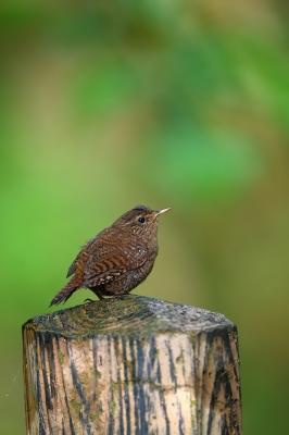 soku_33898.jpg :: 動物 鳥 野鳥 自然の鳥 ミソサザイ