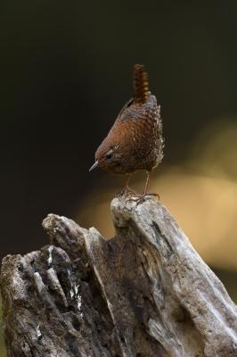 soku_33903.jpg :: 動物 鳥 野鳥 自然の鳥 ミソサザイ