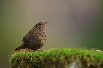 soku_33916.jpg :: 動物 鳥 野鳥 自然の鳥 ミソサザイ