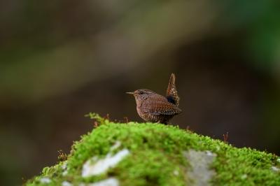 soku_33922.jpg :: 動物 鳥 野鳥 自然の鳥 ミソサザイ
