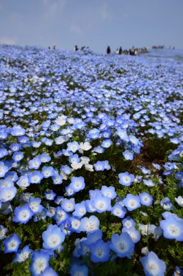 soku_33972.jpg :: 風景 自然 草原 花畑