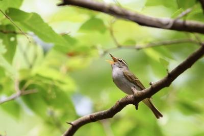 soku_33982.jpg :: 動物 鳥 野鳥 自然の鳥 センダイムシクイ