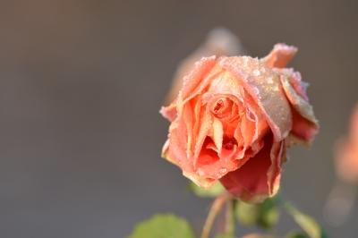 soku_34019.jpg :: 植物 花 薔薇 バラ 水 水滴