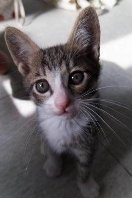 soku_34023.jpg :: 動物 哺乳類 猫 ネコ 子猫 モコ