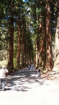 soku_34045.jpg :: 戸隠奥社 杉並木 植物 樹木 針葉樹