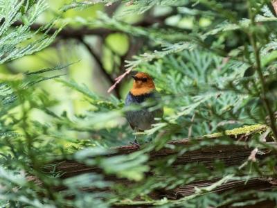 soku_34056.jpg :: 動物 鳥 野鳥 自然の鳥 コマドリ