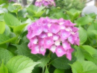 soku_34063.jpg :: 広島市佐伯区坪井 観音寺 植物 花 紫陽花 アジサイ