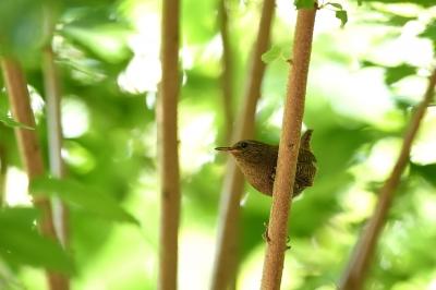 soku_34079.jpg :: 動物 鳥 野鳥 自然の鳥 ミソサザイ