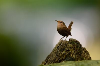 soku_34094.jpg :: 動物 鳥 野鳥 自然の鳥 ミソサザイ