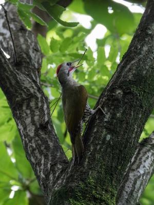 soku_34095.jpg :: 動物 鳥 野鳥 自然の鳥 アオゲラ