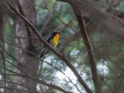 soku_34096.jpg :: 動物 鳥 野鳥 自然の鳥 キビタキ