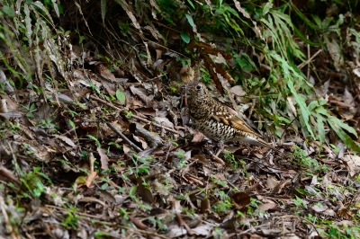 soku_34097.jpg :: 動物 鳥 野鳥 自然の鳥 トラツグミ