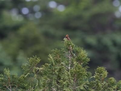 soku_34102.jpg :: 動物 鳥 野鳥 自然の鳥 コマドリ 梢
