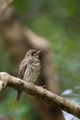 soku_34103.jpg :: 動物 鳥 野鳥 自然の鳥 キビタキ幼鳥