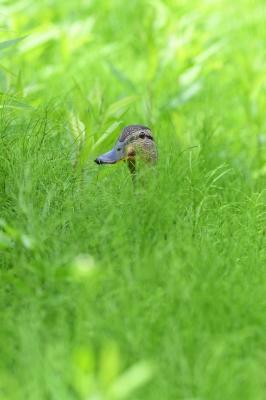 soku_34104.jpg :: 動物 鳥 野鳥 自然の鳥 マガモ