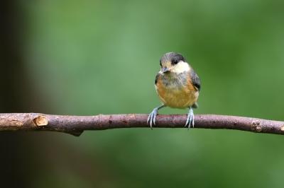 soku_34109.jpg :: 動物 鳥 野鳥 自然の鳥 ヤマガラ幼鳥