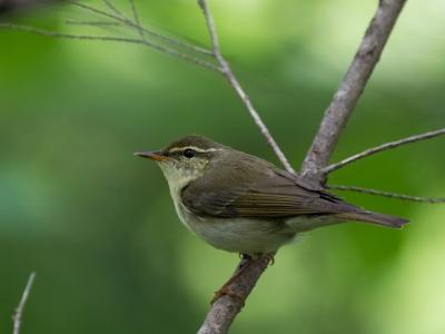 soku_34111.jpg :: 動物 鳥 野鳥 自然の鳥 メボソムシクイ