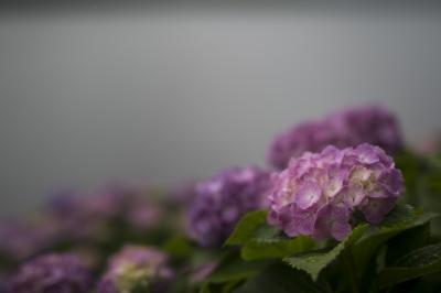 soku_34112.jpg :: 植物 花 紫陽花 アジサイ