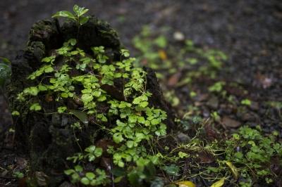 soku_34114.jpg :: 植物 草葉 雑草 三つ葉 クローバー