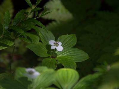 soku_34117.jpg :: 植物 花 高山植物 ゴゼンタチバナ