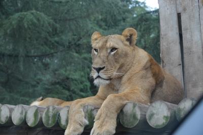 soku_34119.jpg :: 動物 哺乳類 ライオン メス ♀