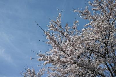 soku_34122.jpg :: 植物 花 桜 サクラ