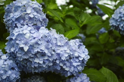 soku_34123.jpg :: 植物 花 紫陽花 アジサイ