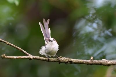 soku_34143.jpg :: 動物 鳥 野鳥 自然の鳥 エナガ