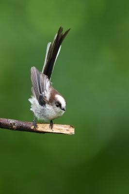 soku_34146.jpg :: 動物 鳥 野鳥 自然の鳥 エナガ