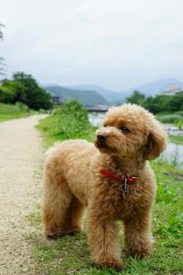 soku_34153.jpg :: 動物 ペット 犬 トイプードル