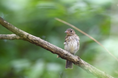 soku_34187.jpg :: 動物 鳥 野鳥 自然の鳥 キビタキ