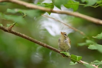 soku_34189.jpg :: 動物 鳥 野鳥 自然の鳥 センダイムシクイ