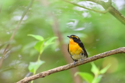 soku_34194.jpg :: 動物 鳥 野鳥 自然の鳥 キビタキ