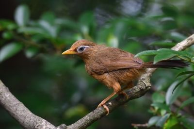 soku_34195.jpg :: 動物 鳥 野鳥 自然の鳥 ガビチョウ 篭脱け