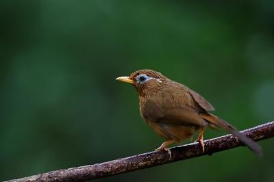 soku_34201.jpg :: 動物 鳥 野鳥 自然の鳥 ガビチョウ