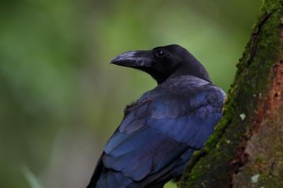 soku_34203.jpg :: 動物 鳥 野鳥 自然の鳥 カラス