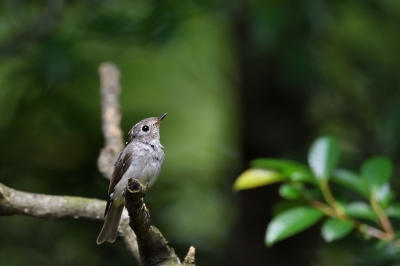 soku_34205.jpg :: 動物 鳥 野鳥 自然の鳥 コサメビタキ