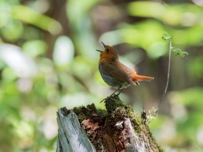 soku_34206.jpg :: 動物 鳥 野鳥 自然の鳥 コマドリ